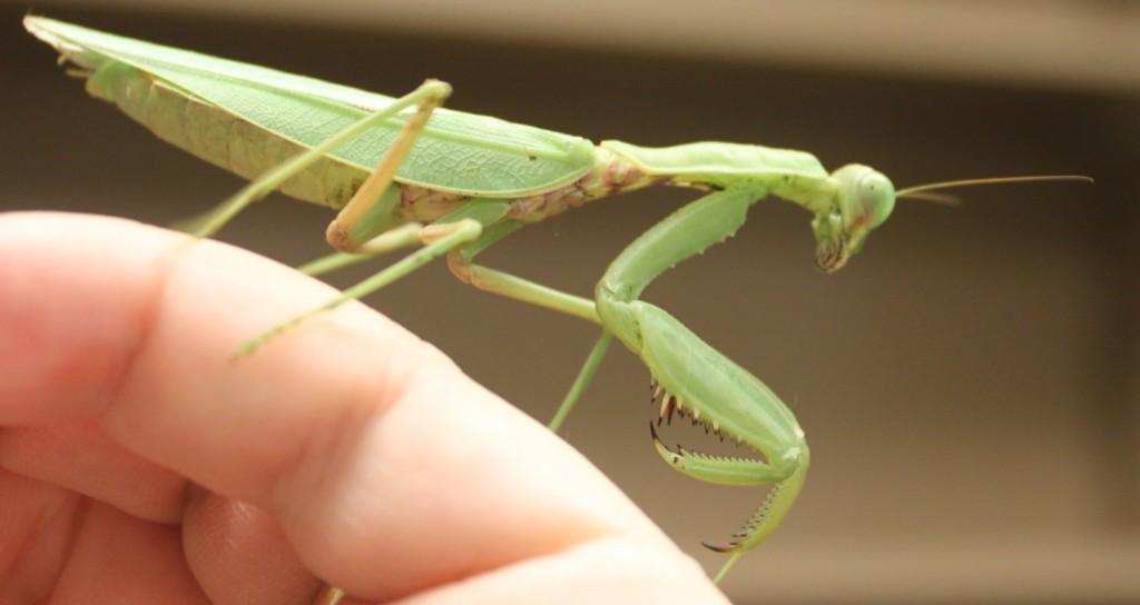 D7-mantis-organism
