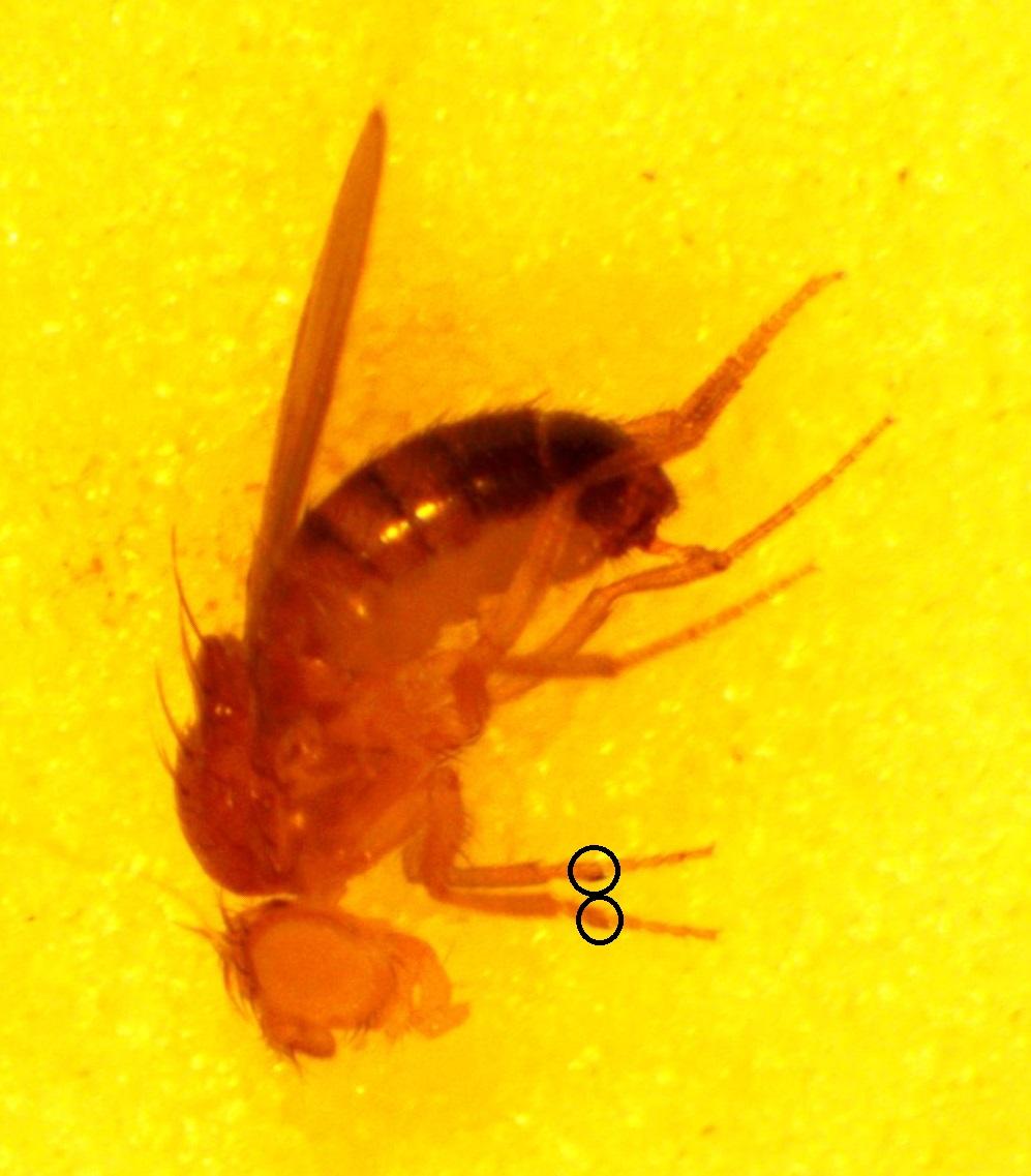 dmel-w-wt-2013-04-11-16-16-46-crop-sexcomb