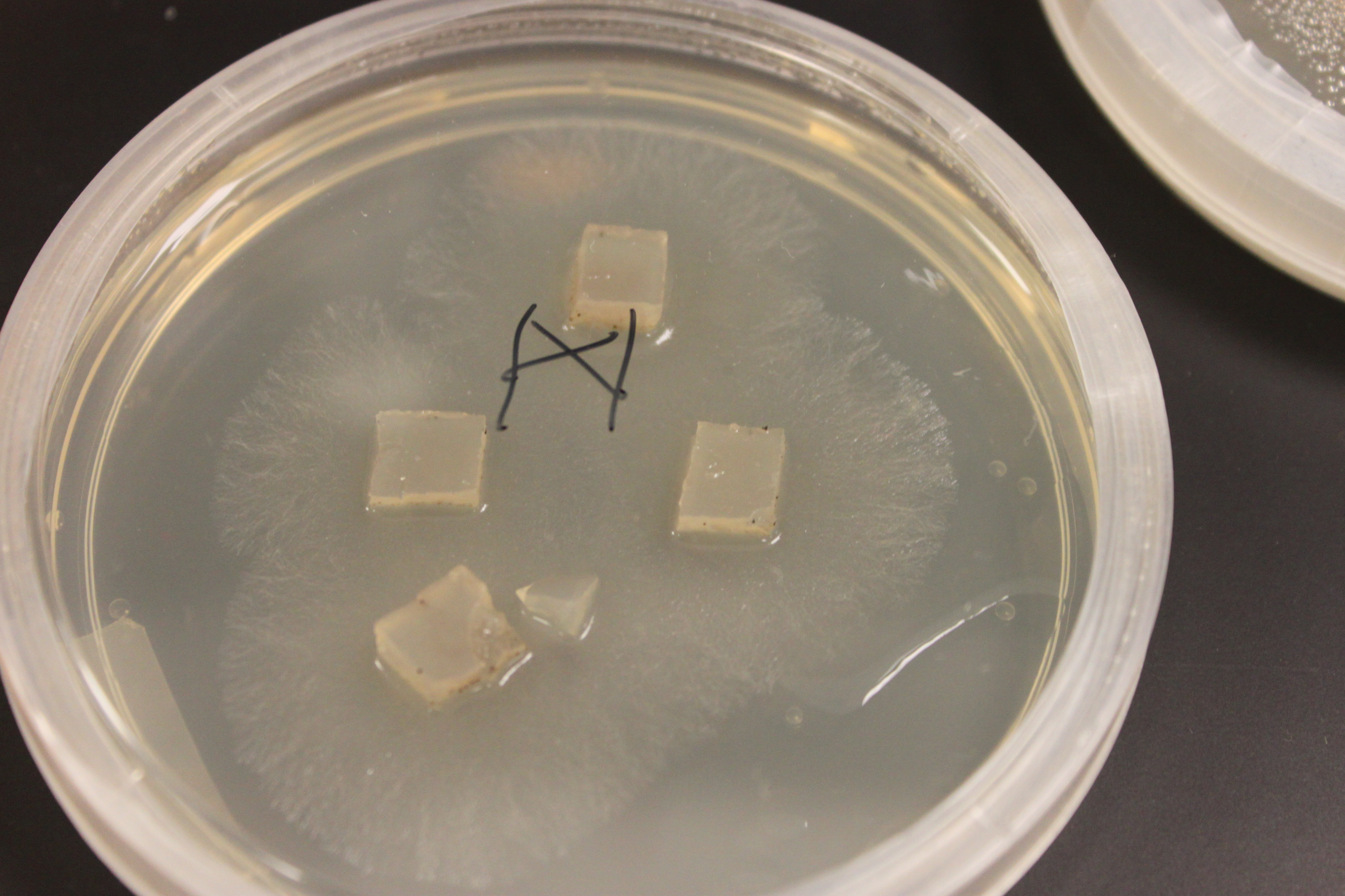 Image search what can grow on a nutrient agar plate