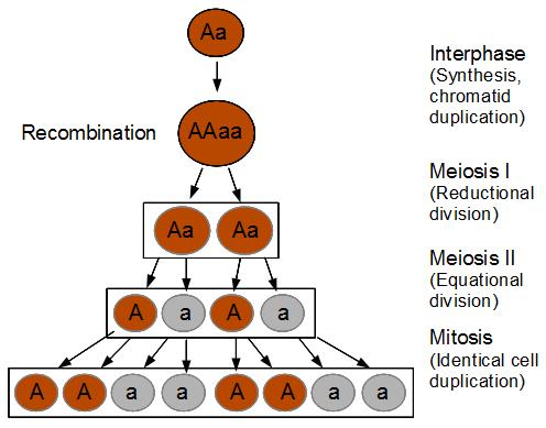 Sordaria-meiosis-b