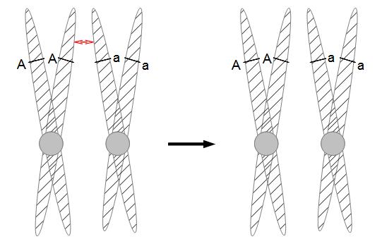 Sordaria-meiosis-c