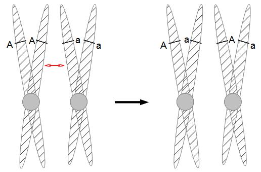 Sordaria-meiosis-d