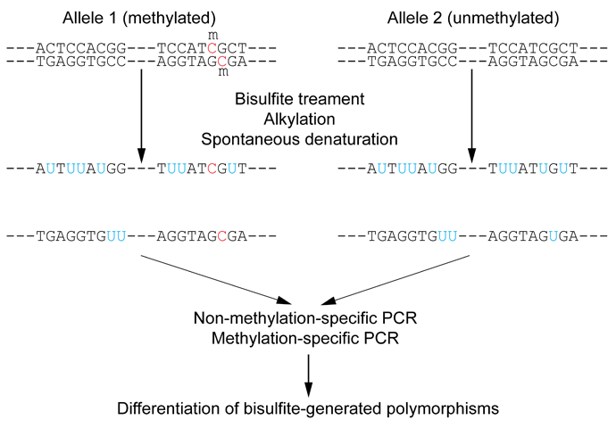 Wiki_Bisulfite_sequencing_Figure_1_small